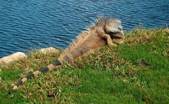 The Ritz-Carlton Grand Cayman: Big Iguana at the Golf Course!