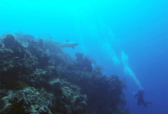 Turneffe Reef: Reef Shark, Halfmoon Caye Wall dive site