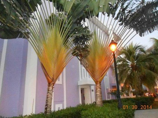 Hotel Riu Montego Bay: Tropical trees