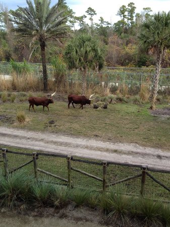 Disney's Animal Kingdom Villas - Kidani Village : View from our balcony