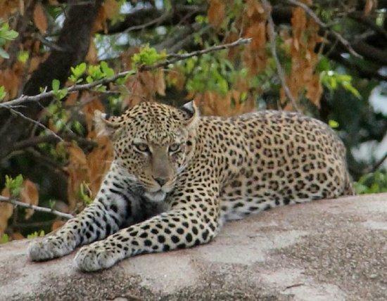 andBeyond Serengeti Under Canvas: Leopard