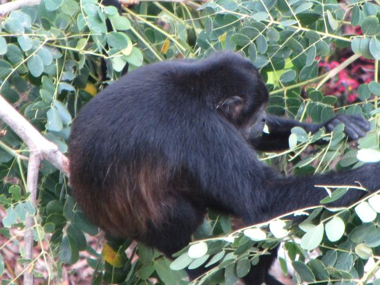 Hotel Riu Guanacaste: Howler Monkey from Balcony