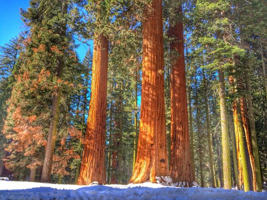 Buckeye Tree Lodge: Giant Sequoias