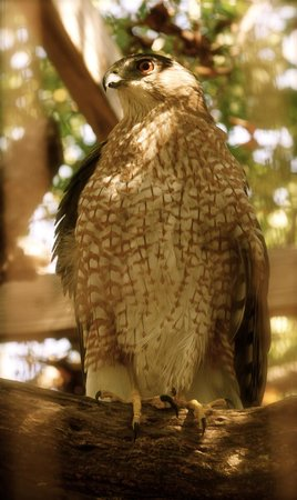 Florida Keys Wild Bird Rehabilitation Center : falcon