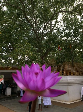 Bodhi Tree Enlightenment With A Lotus Flower In Fg Picture Of