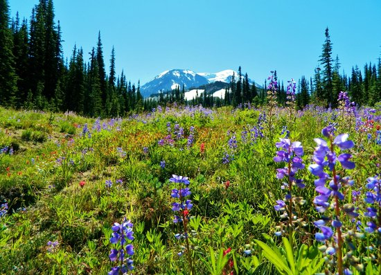 Gifford Pinchot National Forest: Wildflowers in the Mt. Adams Wilderness