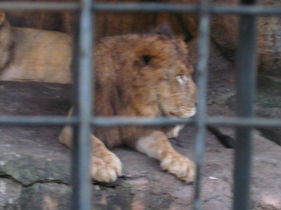 Bali Safari & Marine Park : Lion's Den
