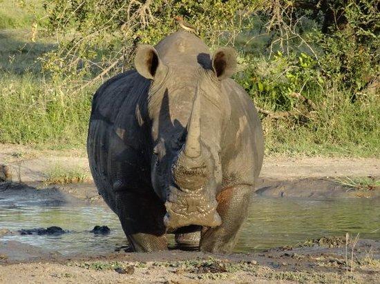 Elephant Plains Game Lodge : Rhino