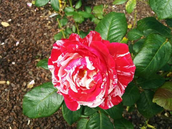 """Auckland Botanic Gardens: A """"trial"""" rose"""