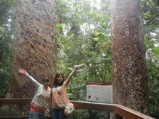 Atherton Tablelands: 樹齢1100年のカオリマツの巨木が天高くそびえ立つ姿は圧巻です。このカオリマツは熱帯雨林の森の中でしか見ることが出来ないそうです