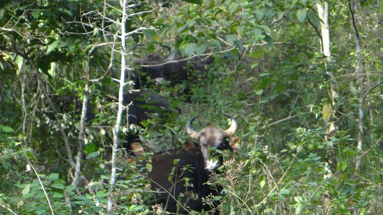 Periyar Tiger Reserve : A herd of bisons