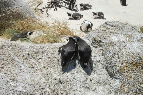 The Cape Town Tour Guide Co.: Penguins in Boulders Beach