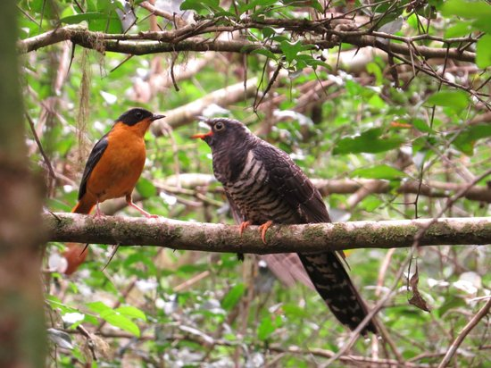 Knysna, Sydafrika: Chorister Robin Chat feeding Red Chested Cuckoo baby