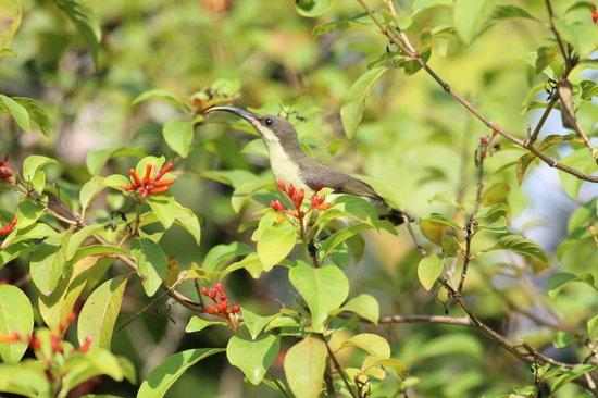 Kahanda Kanda : Humming bird