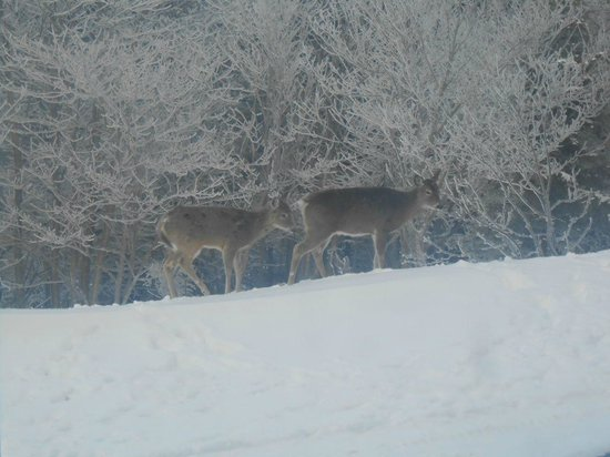 Snowshoe Mountain Resort: Deer outside our condo