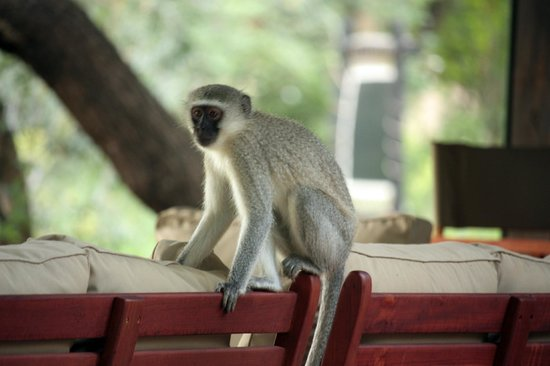 Honeyguide Tented Safari Camps : Camp monkey