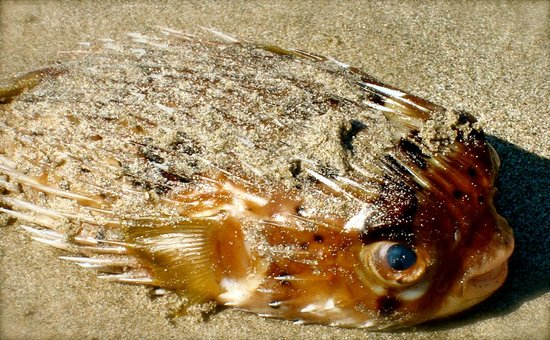 Grand Palladium Vallarta Resort & Spa: Blowfish washed up on shore