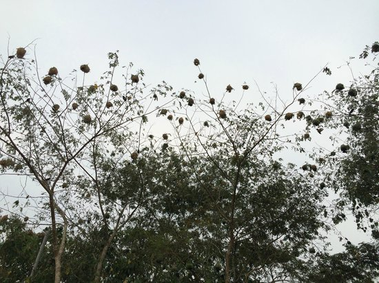 Chimps' Nest: Nesting birds....look above when you are in parking lot