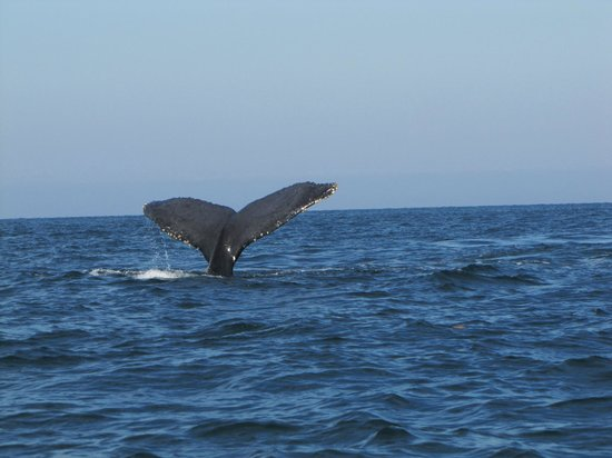 one of the many humback whales we saw heading down picture of