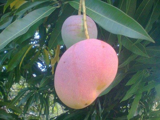 Posada Los Mangos : yummy mangos!!