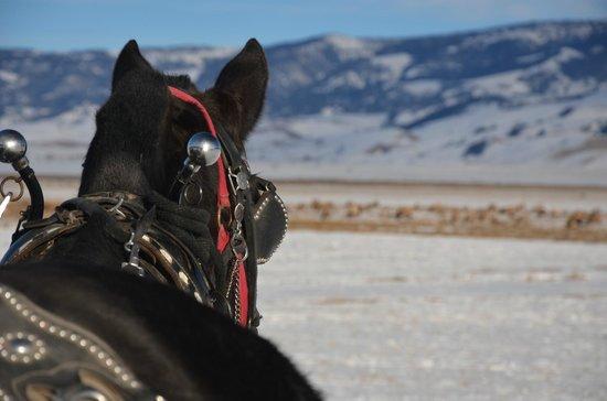 National Elk Refuge: Horse drawn sleigh