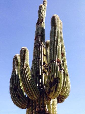 Piestewa Peak: Giant sugaro cactus on n side trail 302