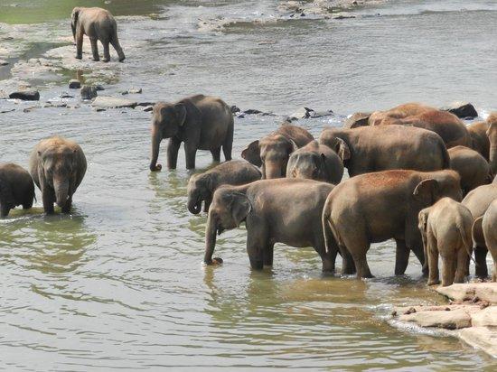 Pinnawala Elephant Orphanage: il bagnetto