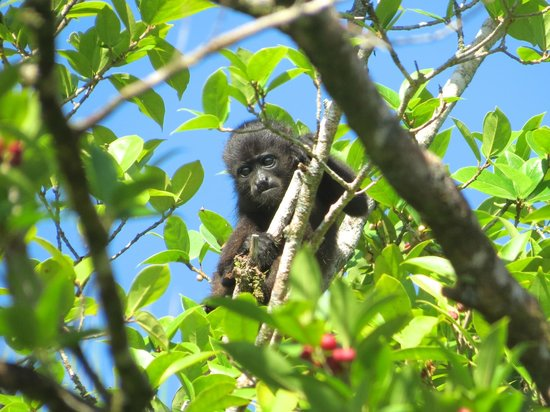 Tortuga Lodge & Gardens : Baby howler monkey viewed from room window.
