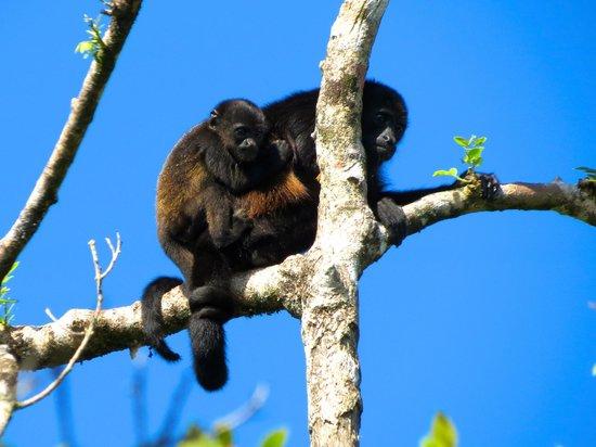 Tortuga Lodge & Gardens: Howler monkeys viewed from room window.