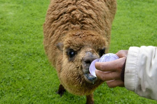 Belmond Hotel Rio Sagrado: Baby Alpaca Feeding