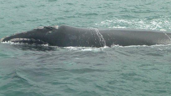 Whale Watchers Hermanus: Wal