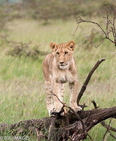 Great Plains Conservation Mara Plains Camp: Lion Cub in Masai Mara