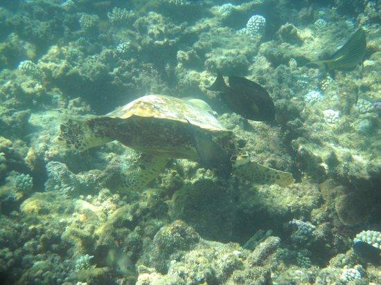 Azoush Tourist Guest House: tartaruga