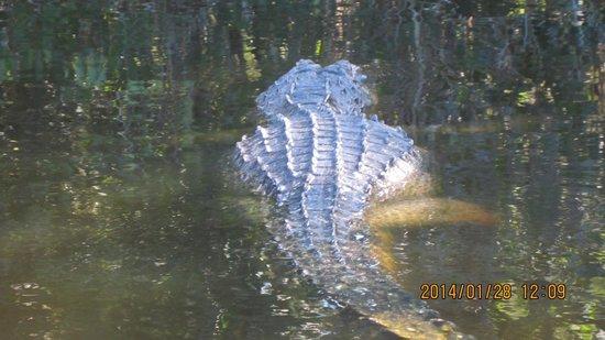 Tour the Glades - Private Wildlife Tours: Leisurely swim