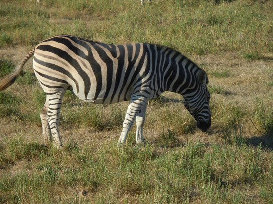 Garden Route Game Lodge : Zebra