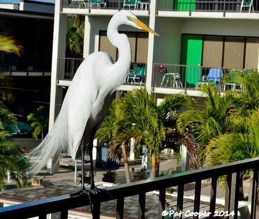 Limetree Beach Resort: A regular visitor