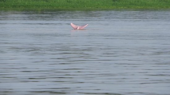 Maniti Expeditions Eco-Lodge & Tours Iquitos: Pink Dolphin, I got a picture of the pink tail
