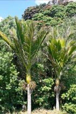 Potiki Adventures : The Nikau Palm Tree, New Zealand's only native palm tree