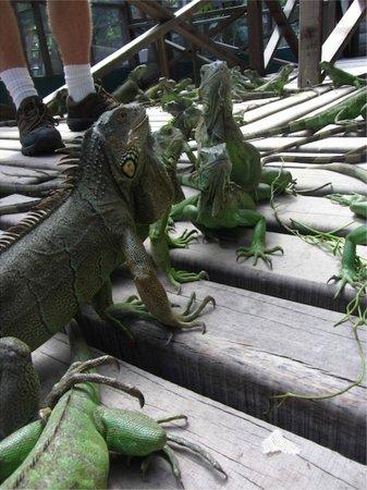Green Iguana Conservation Project: Friendly little guys