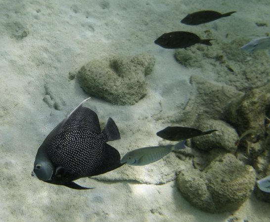 Renee Snorkel Trips: Gray angel fish?