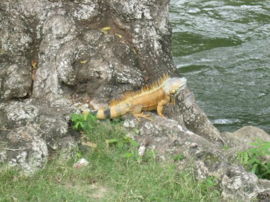 Room 4 U 2: An iguana right across the road