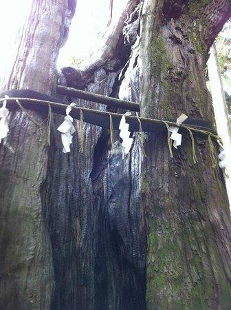 Takakura Shrine : ご神木