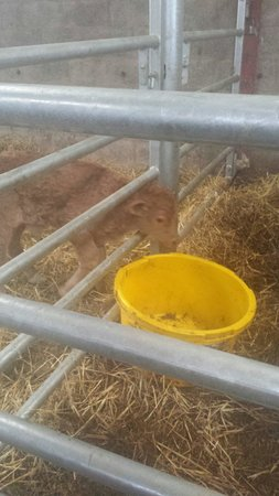 Kellah Farm B&B: Calves