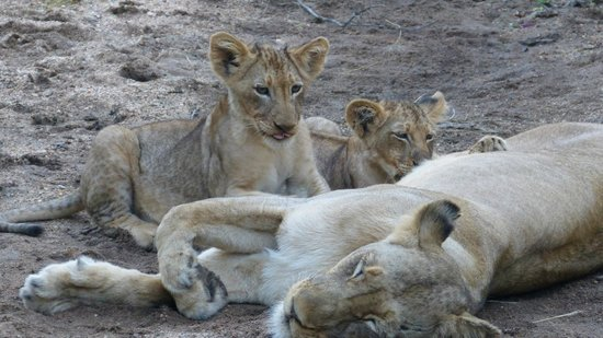 Naledi Bushcamp and Enkoveni Camp: cubs