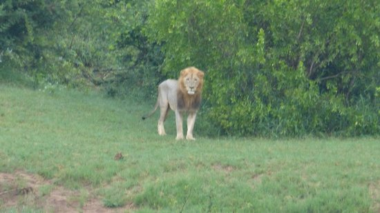 Naledi Bushcamp and Enkoveni Camp: Male lion (who roared all night long!)