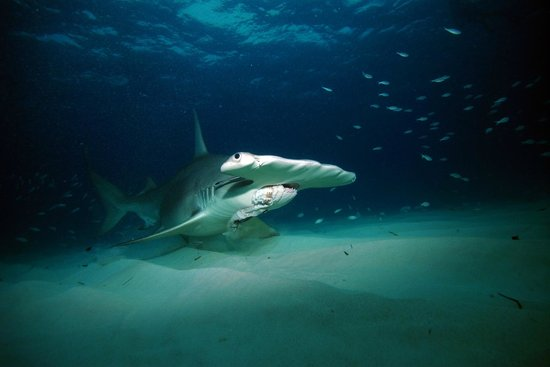 Neal Watson Bimini Scuba Center: Hammerhead Shark Dive