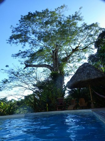 Belize Jungle Dome: Guanacosta Tree as seen from the rooms and pool area.
