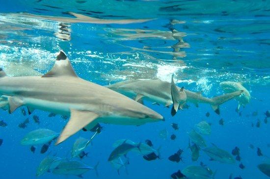 Maohi Nui : blacktip reef sharks