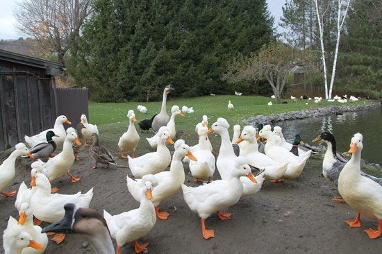 Fly Creek Cider Mill & Orchard : Happy ducks and geese waiting to be fed