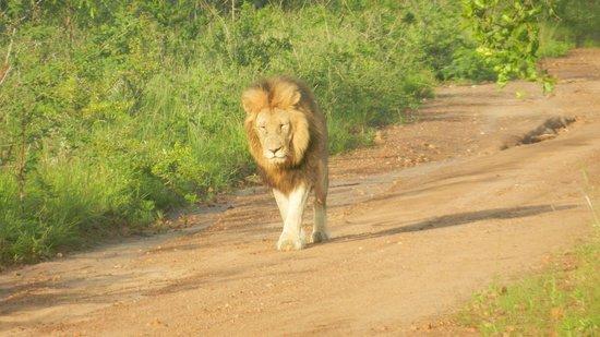 Honeyguide Khoka Moya & Mantobeni Camps: Lion came close enough to pet